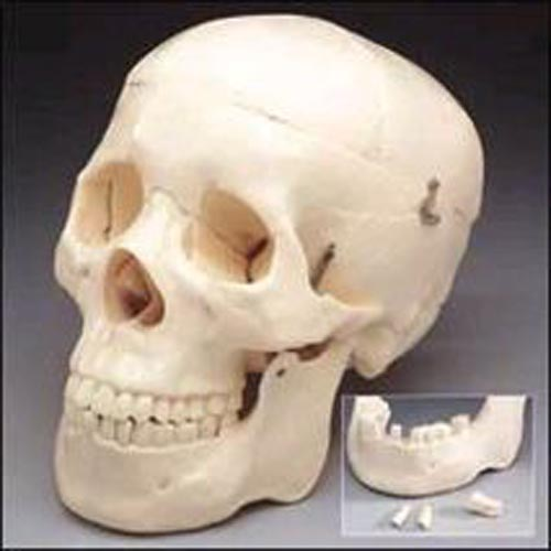 Skull With 3 Removable Teeth